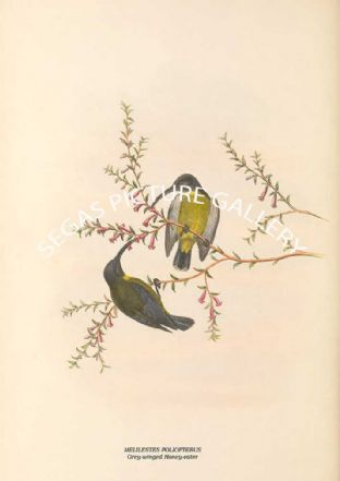 MELILESTES POLIOPTERUS - Grey-winged Honey-eater